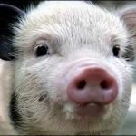 На 1 ноября в Беларуси официально зарегистрировано 59 случаев свиного гриппа