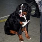 Выставка собак пройдёт в Могилёве 29 апреля