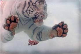 мясо для Тигра