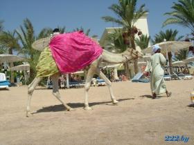 даже с верблюдом пляж в Египте намного чище Турецкого