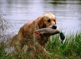 Сезон охоты на птиц открывается 10 августа